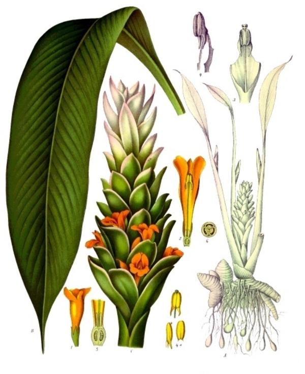 Curcuma_longa_-_Köhler–s_Medizinal-Pflanzen-199