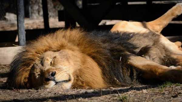 leones10