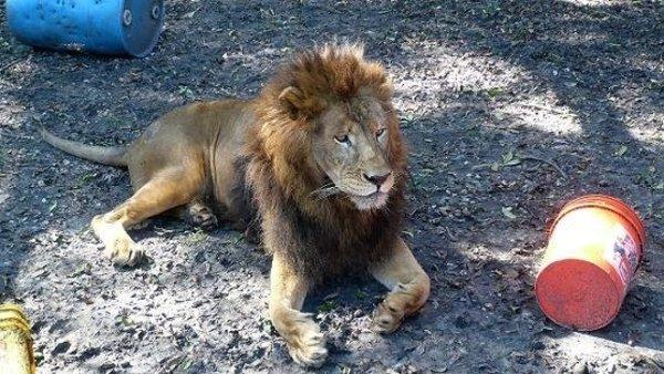 leones13