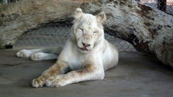leones9
