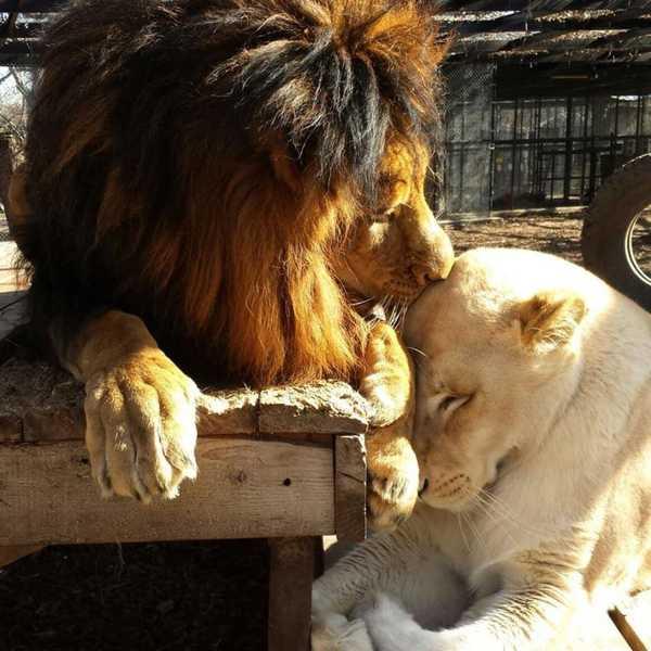 leones2