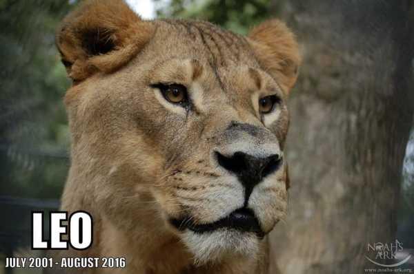 lejonet5