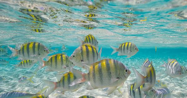Fiskar Dominikanska
