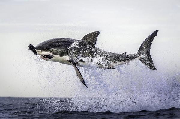 shark_flying