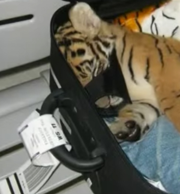 tiger.inne