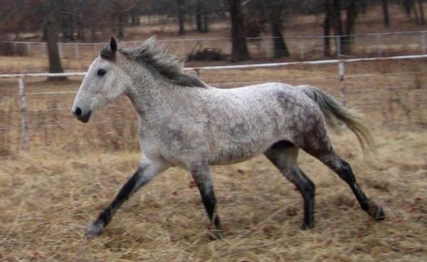 lockig häst
