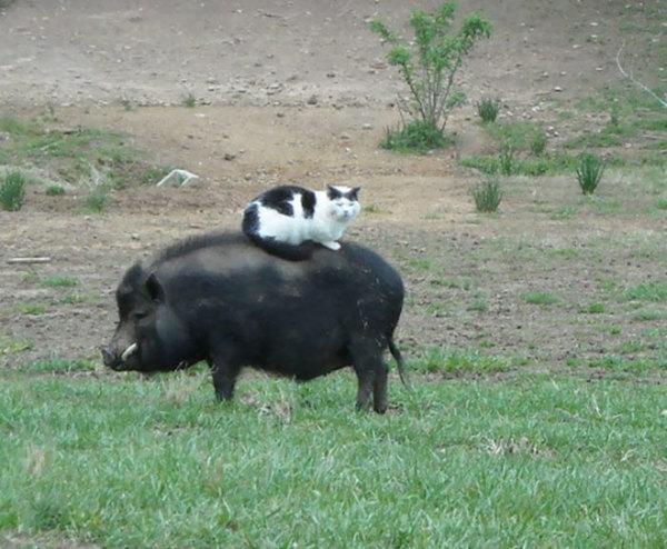 cat wild boar